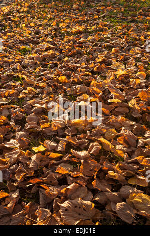 Fallen autumnal leaves of a Large-leaved Lime (Tilia platyphyllos), Bavaria, Germany - Stock Photo