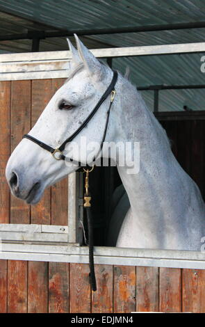 Portrait of a white horse in a stable - Stock Photo