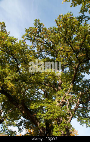 English Oak is a native broad leave tree in Europe and here growing in a nature park in northernmost Brandenburg - Stock Photo