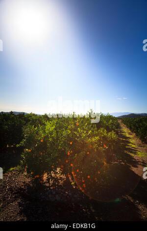 Sun ripening oranges on trees in Valencia Spain - Stock Photo