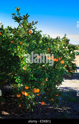 Oranges ripening in the sunshine on oarnge trees in Valencia Spain - Stock Photo