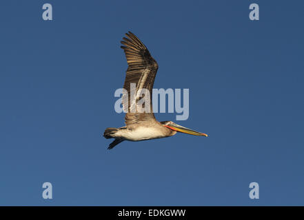 Brown Pelican in flight Mexico - Stock Photo