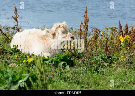 white highland cattle / calf - Stock Photo
