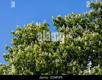 Horse chestnut Aesculus hippocastanum in flower, Abergavenny, Wales, UK - Stock Photo