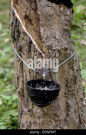 Latex or Liquid Rubber Collection from an Incised Tree in Kerala - Stock Photo