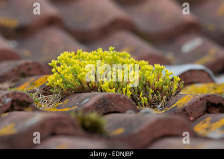 Biting Stonecrop; Sedum acre; on Roof; Summer; UK - Stock Photo