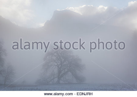 Elm Tree and Half Dome in Fog After Spring Snowstorm, Yosemite National Park, California - Stock Photo