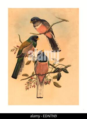 John Gould and W. Hart (British, 1804  1881 ), Trogan variegatus, probably 1836 1838, colored lithograph - Stock Photo