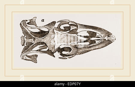 Skull of Varan the Nile - Stock Photo