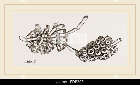 Cellepora pumicosa - Stock Photo