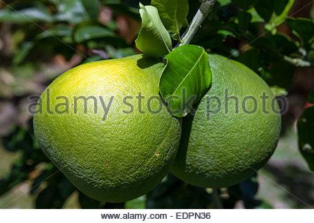 Tahitian green grapefruit - Citrus maxima var. sarawak - Stock Photo