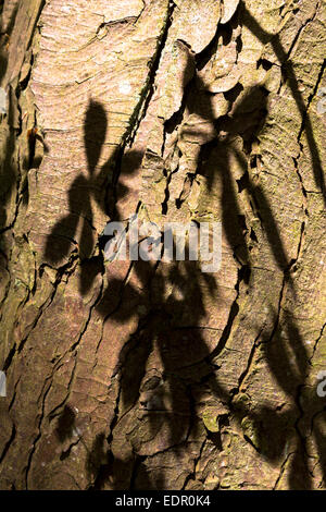 Leaves of Horse-Chestnut deciduous tree, Aesculus hippocastanum, as shadow on the bark of its trunk in Oxfordshire, - Stock Photo