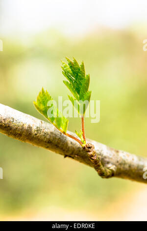 Leaves emerging from tree buds on branch of Rowan tree, Sorbus aucuparia, or Mountain Ash as Spring turns to Summer - Stock Photo