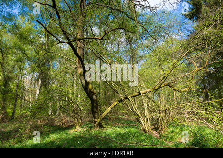 Woodland scene of beech trees and silver birch at Bruern Wood in The Cotswolds, Oxfordshire, UK - Stock Photo