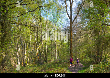 Walkers stroll in woodland scene of silver birch trees, Betula pendula at Bruern Wood in The Cotswolds, Oxfordshire, - Stock Photo