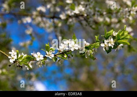 Common Hawthorn blossom, Crataegus monogyna, on tree branch as Spring turns to Summer, United Kingdom - Stock Photo