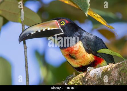 Crouched collared aracari (Pteroglossus torquatus) portrait, Tortuguero, Costa Rica. - Stock Photo