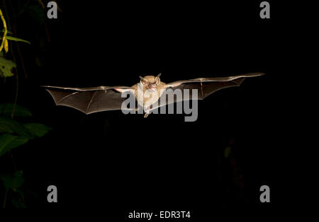 Jamaican fruit bat (Artibeus jamaicensis) flying at night, Tortuguero, Costa Rica. - Stock Photo