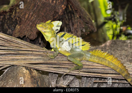 Plumed or green basilisk (Basiliscus plumifrons) shedding, Tortuguero, Costa Rica. - Stock Photo