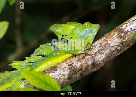 Plumed or green basilisk (Basiliscus plumifrons) in a tree, Tortuguero, Costa Rica. - Stock Photo