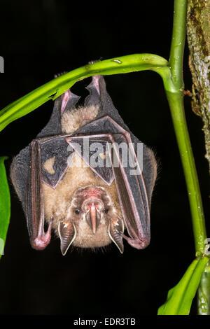Tent-making bat (Uroderma bilobatum) hanging in a tree, Puerto Viejo, Limon, Costa Rica - Stock Photo
