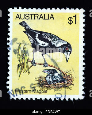 Used and postmarked Australia / Austrailian Stamp - Western Magpie - Stock Photo
