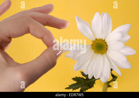 Woman's hand plucking petals from a daisy. - Stock Photo