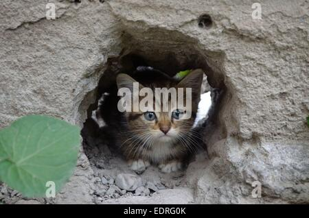 Wee  gray tabby kitten hiding in the hole walls - Stock Photo