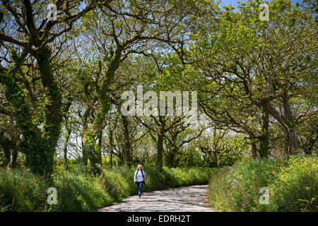 Lone walker strolling along tree-lined country lane during holiday in North Devon, Southern England, UK - Stock Photo