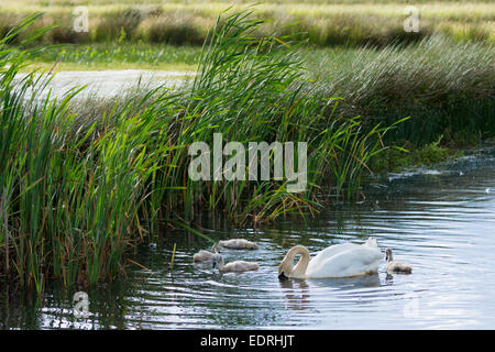 Female (pen) adult mute swan, Cygnus olor, Anatidae, with cygnets in summertime on wetland at Otmoor Nature Reserve, - Stock Photo