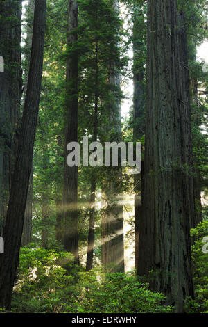 Sunbeams through redwood forest, Del Norte Coast Redwoods State Park, Del Norte County, California - Stock Photo