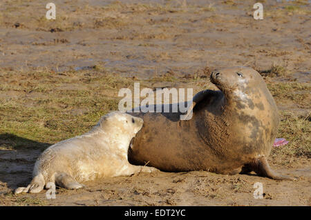 Atlantic Grey Seal - Halichoerus grypus Female with pup - Stock Photo