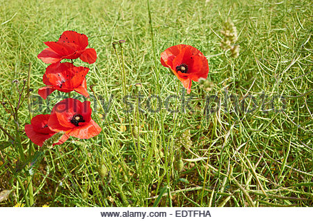 Poppy Red Flower field Blood Death Rememberance War Emblem in  Rapeseed Oil plants growing in field in Stonesfield - Stock Photo