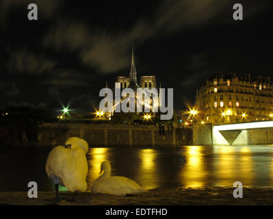 Night view of a swan on the Quai d'Orleans opposite Notre Dame and the Pont Saint Louis, Paris - Stock Photo