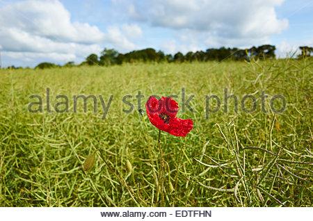 Poppy Red Flower field Blood Death Rememberance War Emblem in  Rapeseed Oil plants growing in field in Stonesfield - Stock Photo