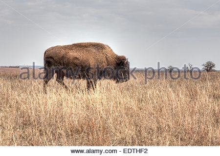 A image of an American Bison or Buffalo (Bison bison) at the Tallgrass Prairie Preserve near Pawhuska, Oklahoma. - Stock Photo