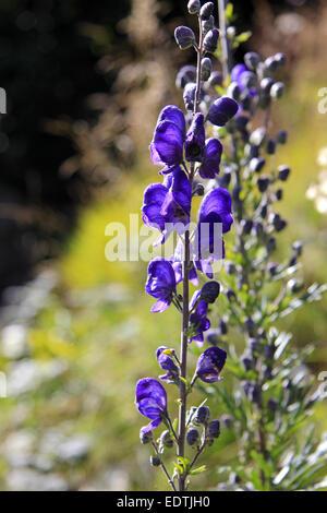 Blume, blauer Eisenhut, Aconitum napellus,Flower, Monkshood, Aconitum napellus,autumn, beautiful, beauty, bloom, - Stock Photo