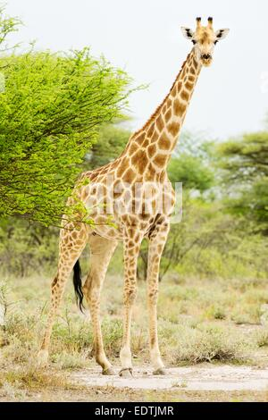 Giraffe browsing on leaves at Onguma, near Etosha National Park, Namibia, Africa. - Stock Photo