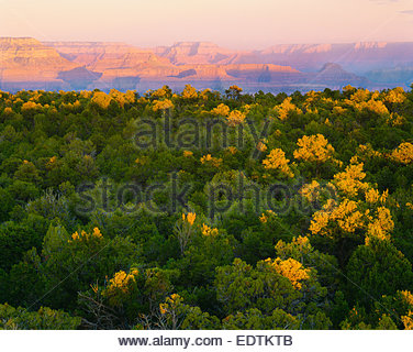 Pinyon-Juniper forest on South Rim, with North Rim in distance. Grand Canyon National Park, Arizona - Stock Photo