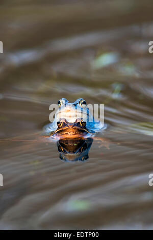 Moor Frog - Mating - Stock Photo
