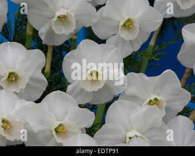 Daffodils at the Chelsea Flower Show 2014 - Stock Photo