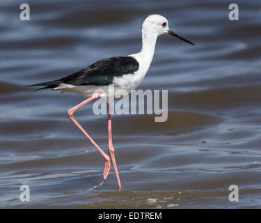 A black-winged stilt searches for food at Lake Manyara in Tanzania, Africa - Stock Photo