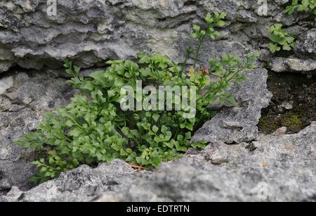 Wall Rue  -  Asplenium ruta-muraria - Stock Photo