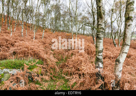 Silver Birch trees (Betula pendula) and bracken in Autumn on a hillside at Hathersage Moor, Yorkshire Derbyshire - Stock Photo