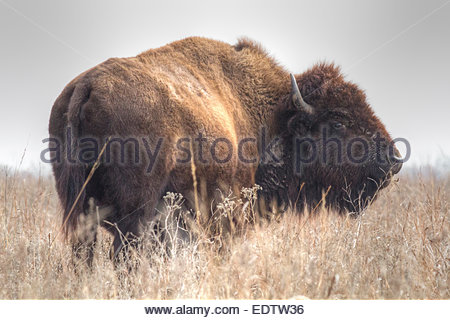 A profile image of an American Bison (Bison bison) grazing at the Tallgrass Prairie Preserve near Pawhuska, Oklahoma. - Stock Photo