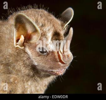 Pygmy fruit-eating bat (Dermanura phaeotis) portrait, Limon, Costa Rica. - Stock Photo