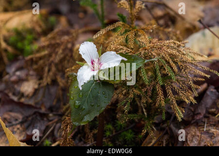 A Painted trillium grows next to some ground pine in the springtime in a Pennsylvania forest. - Stock Photo