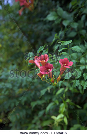 campsis radicans 39 flamenco 39 stock photo royalty free. Black Bedroom Furniture Sets. Home Design Ideas