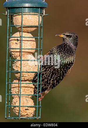 Common Starling Sturnus vulgaris adult non-breeding plumage feeding on fat-balls - Stock Photo