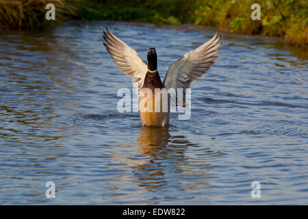 Mallard Anas platyrhynchos adult male wing flapping - Stock Photo